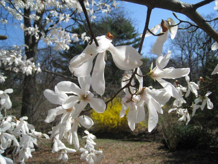 Magnolia in bloom at Laurelwood Arboretum