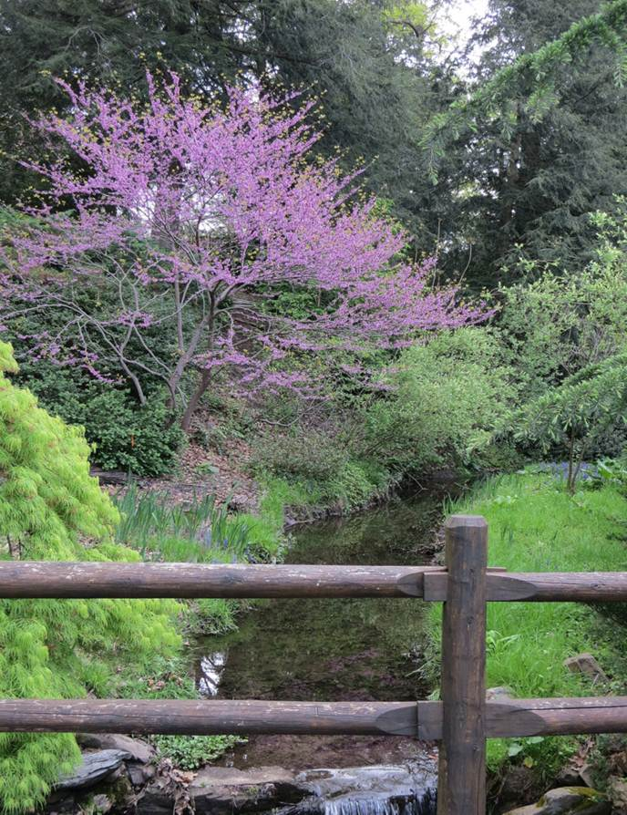 Spring, Eastern Redbud