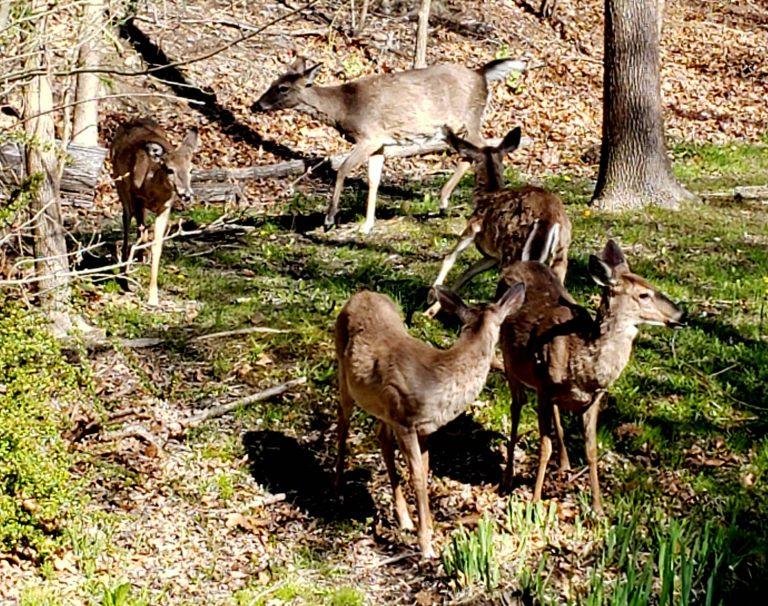 Family of deer, Lourdes Osorio