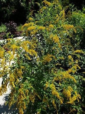 Goldenrod growing in the sensory garden