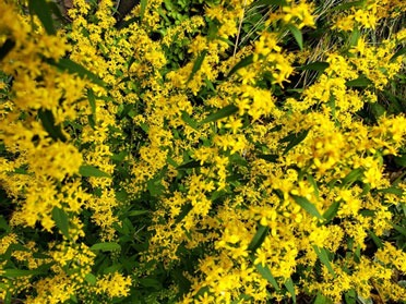 Wreath Goldenrod