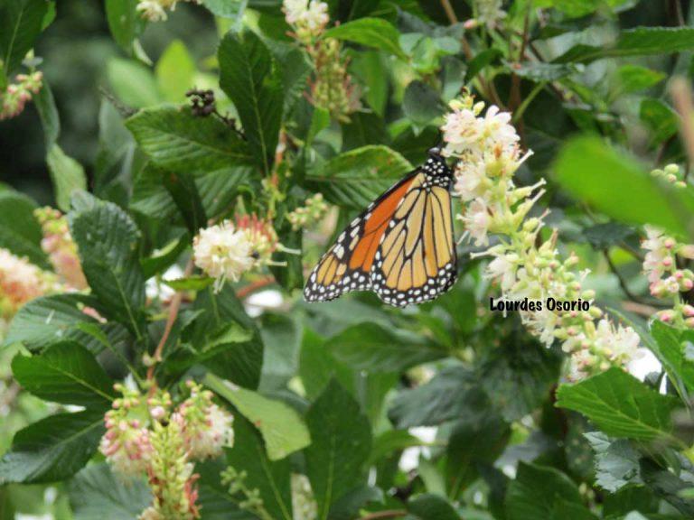 Summersweet & Monarch