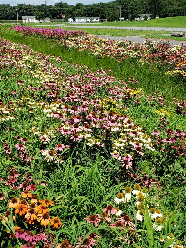 Echinacea blooming in a meadow