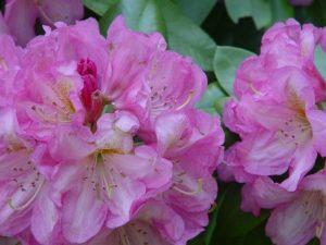 R. 'Parker's Pink'