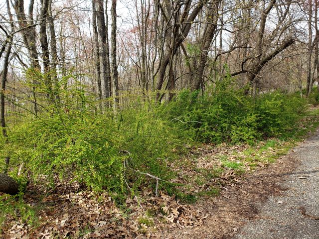 Thicket of Japanese barberry at Garret Mountain Reservation