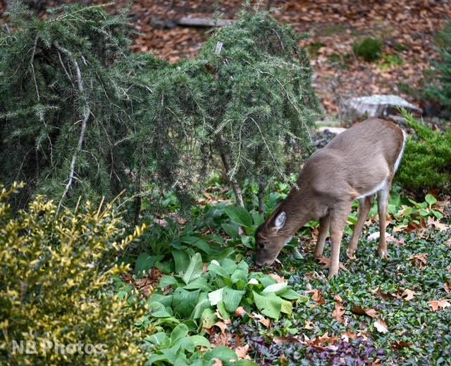 Deer Damage in Arboretum