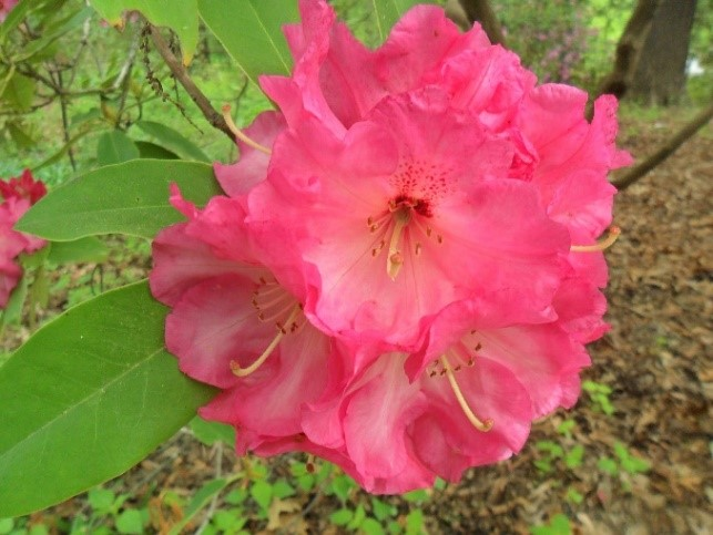 Parker's Pink Rhododendron