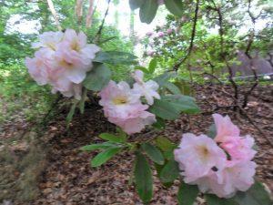 Powder Puff Rhododendron