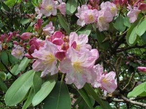 Westbury Rhododendron