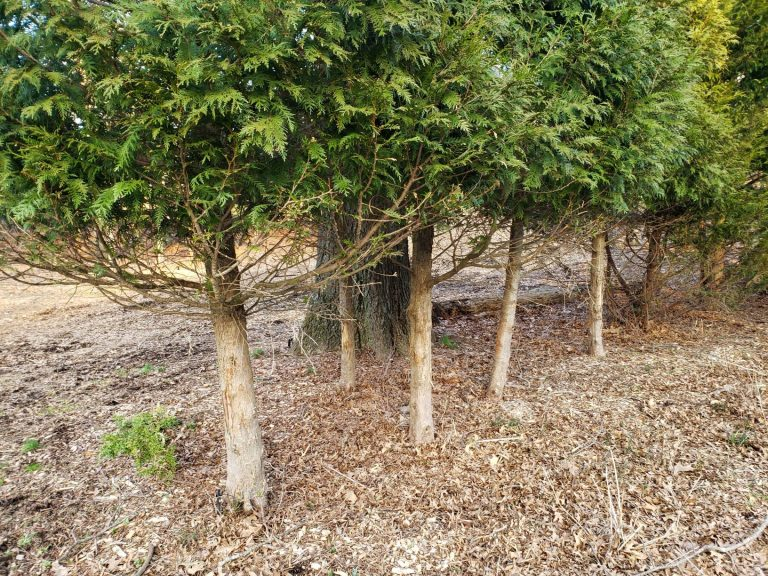 Trees at Laurelwood