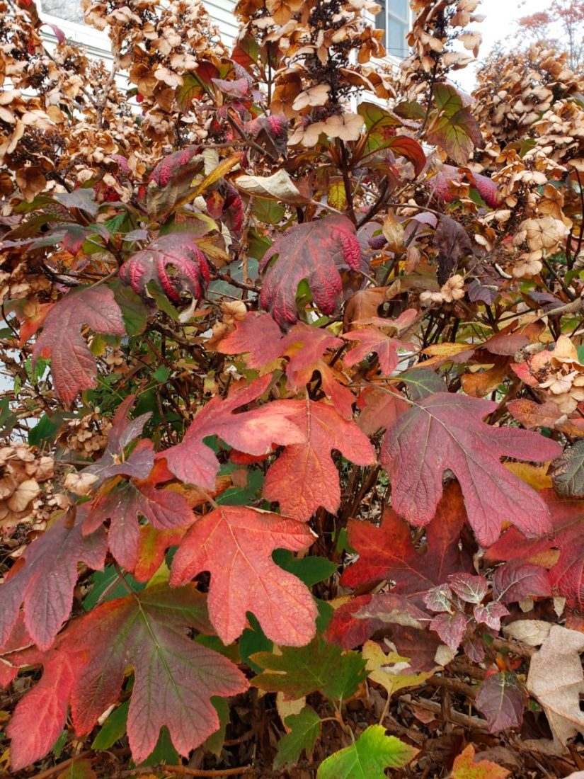 Oakleaf hydrangea red